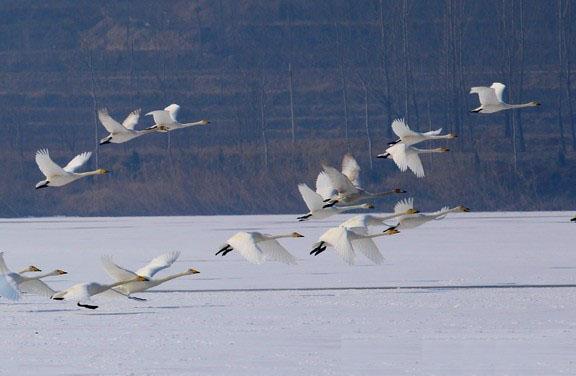 这些候鸟中包括国家2级保护动物小天鹅以及鸿雁等